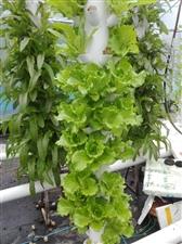 水培蔬菜,芽苗菜,蕈。