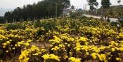 德江桶井乡,菊花遍野。