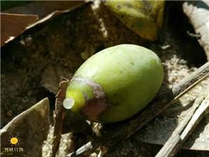 原来揭西人常吃的黄橄榄这么厉害!可惜知道的人太少了...