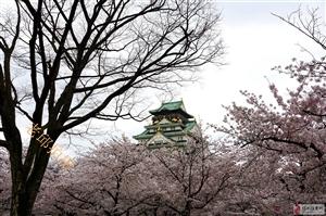老邱拍摄的樱花