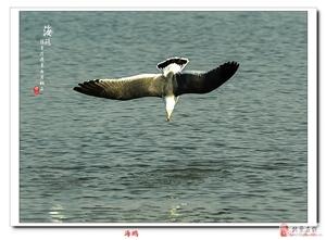戊戌年正月拍一组海鸥给老师和影友们拜年了