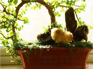 《雏鸡鸣春》