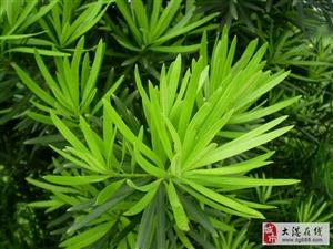 绿植养护之罗汉松