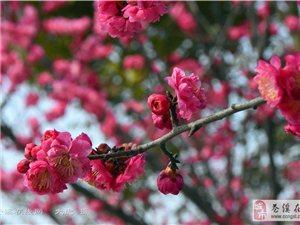 二月里腊梅绽开的花朵【图】
