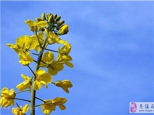 苍溪油菜花盛开,春天来了!【图】