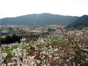 上千亩樱桃花竞相绽放,如梦如幻,就在仁寿城边!