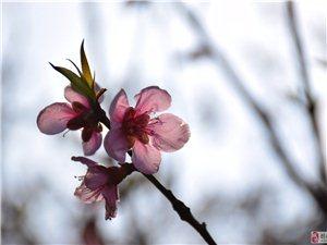 【参赛】花开枝头喜迎春(相机)