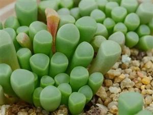 家居�B花之多肉植物――五十�玉