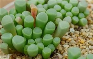 家居养花之多肉植物――五十铃玉