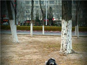 千元寻狗 黑银色雄性雪纳瑞春节前前走失于晨晖里