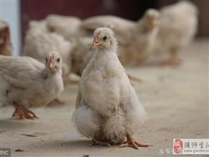 """洛阳市偃师农家小院里,一只特立独行的鸡中""""企鹅"""""""