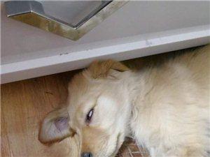 �ふ�G失的金毛犬