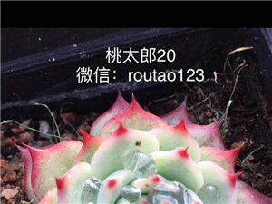 肉陶多肉植物工作室 微信:routao123