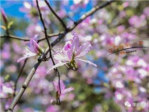 美呆了!攀枝花又增一片�m粉紫�G花海,�值�p峰已至,又可以拍拍拍啦!