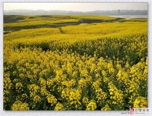 南溪最佳油菜花观赏地――漂海楼对岸