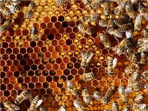 出售活体蜜蜂