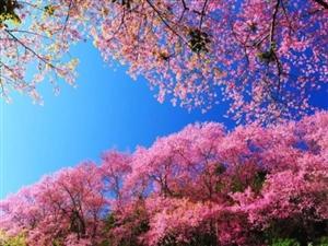 终于等到你!同心花海2018春夏赏花季,3月3日正式开启...