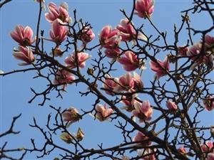 【原创】金雁玉兰盛开、桃花紧随其后,说走就走的春游,来不来?