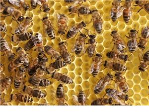 出售蜜蜂意蜂