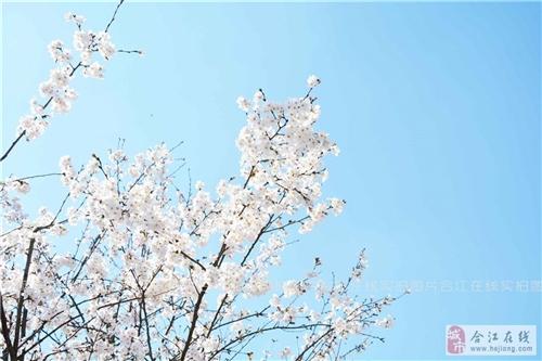 阳春三月・樱花十里