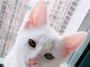 急!急!急!寻找心爱的猫咪!