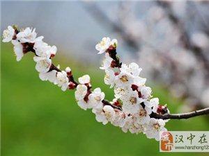 春天里的杏花村