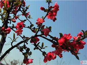 春天最迷人的花是——海棠