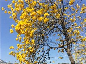 金色的春天