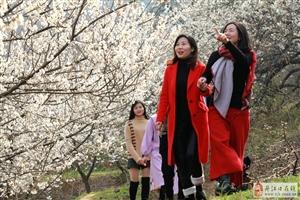 绽放的樱桃花