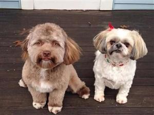 狗狗和主人相处久了真的会越长越像?盘点那些人模狗样的汪星人