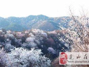 【光山这个地方的樱花你见过吗?】