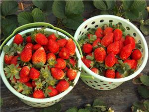 草莓采摘价低至9.9元/斤,永顺远发生态农场这价格真的接地气!赶紧出发