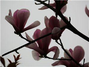 滨江路玉兰花