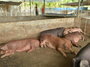 村上建了一个养猪厂,现在天气热起来了,整个村都是猪屎丑,怎么办?