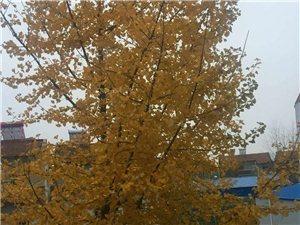现有一棵16年的银杏树(大概10米左右高)出售