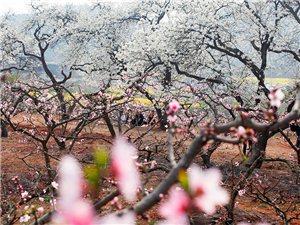 松林梨花,桃花已开,大家快去享受春天的花香吧(组图)