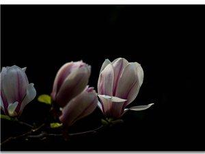 【海蓝影像】纯洁如玉,馨香如兰(组图)