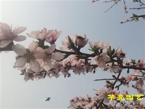 广汉开发区谢泥鳅附近的桃花开得美丽惨了,华亮园艺的手机拍不出她的美