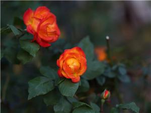玫瑰花 & 月瑰花