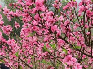 �春三月去�|�r公�@,看桃花,看�鸦ǎ�小花,人多很火爆。
