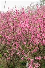 阳春三月去东岩公园,看桃花,看樱花,小花,人多很火爆。