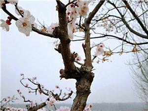 邹城大元的杏花开了