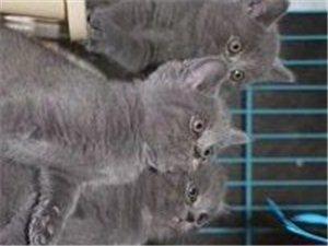 想来想去、这个世界最幸福的事就是拥有、纯种蓝猫,包子脸