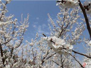 阳春三月,邀你去礼泉赏花