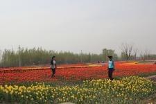 滨州郁金香花节什么时候开始呀?等着赏花啦