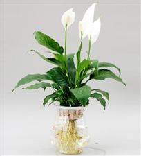 白鹤芋养护方法及花语