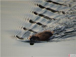 潮白河麝鼠