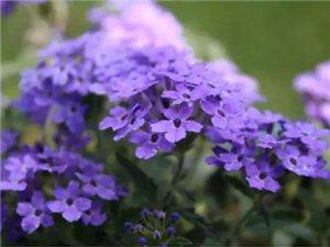 室内盆花的栽培