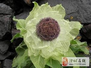 雪莲花的栽培方法是什么