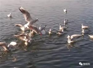 昭阳春意闹,上千只海鸥已经来到省耕公园嬉耍觅食!